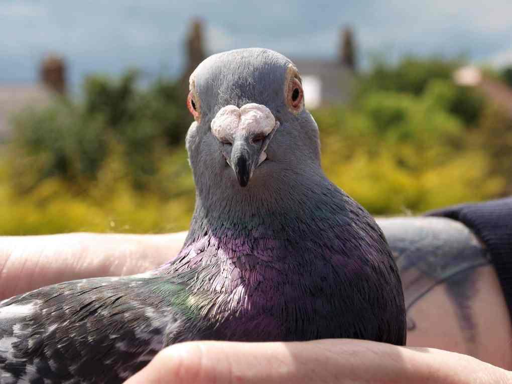 SNFC_Champion_Billy_Bilsland_pigeon1