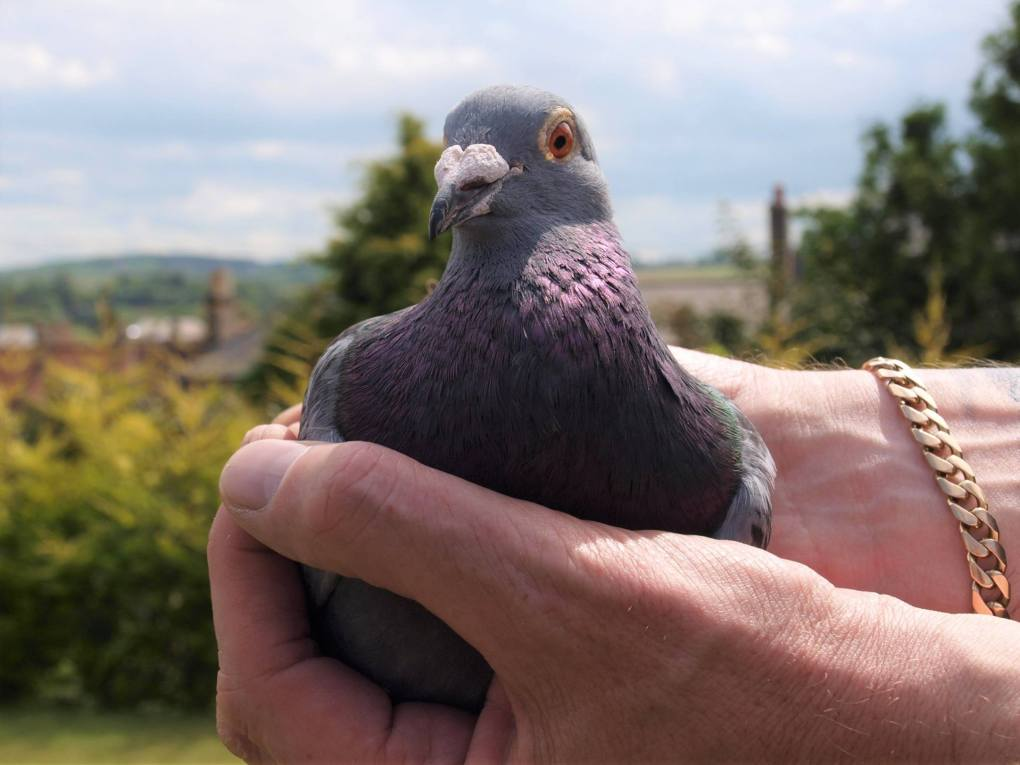 SNFC_Champion_Billy_Bilsland_pigeon2