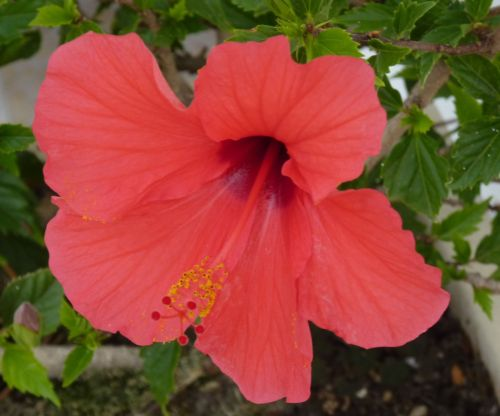 A Simple Way to Propagate Hibiscus