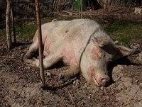 Свиноматка упала на ноги после отлучки поросят. Почему свинья падает на задние ноги и как ей помочь