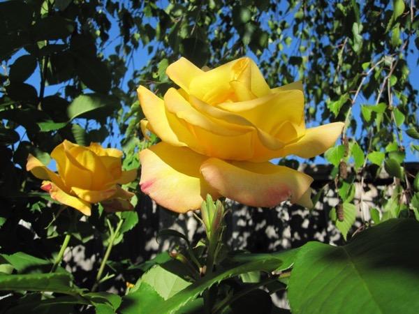 A rose is a rose 4566456621 o