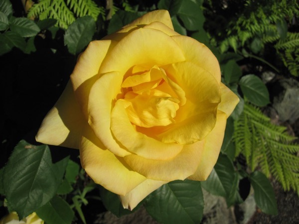 Yellow rose 4566456475 o