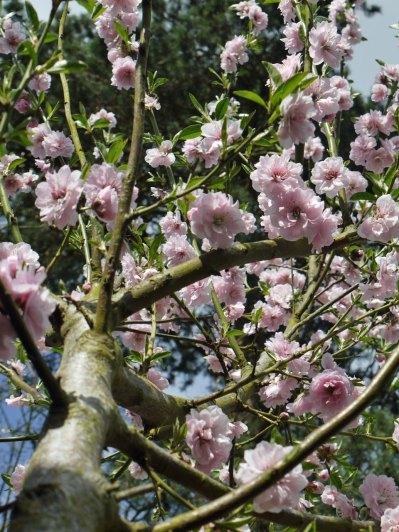 almond-blossom(apr17)
