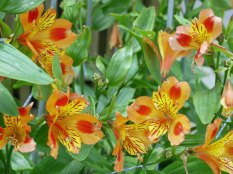 alstroemeria(jul17)