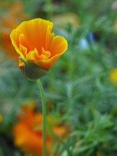 calif-poppy(oct17)