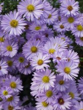 michaelmas-daisies(oct17)