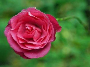rose(oct17)