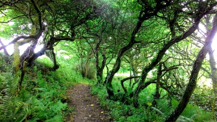 Propletené a divoce rostoucí stromy v Cornwallu