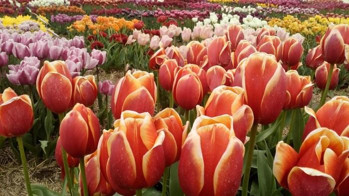 tulipanova13