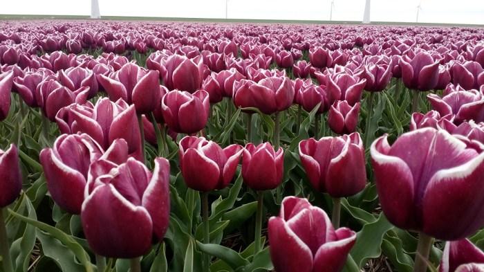 tulipanova14