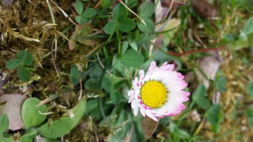 Pink-tipped daisy