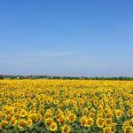 sunflower garden under blue sky