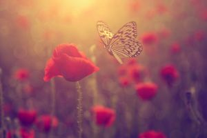 Poppy and butterfly
