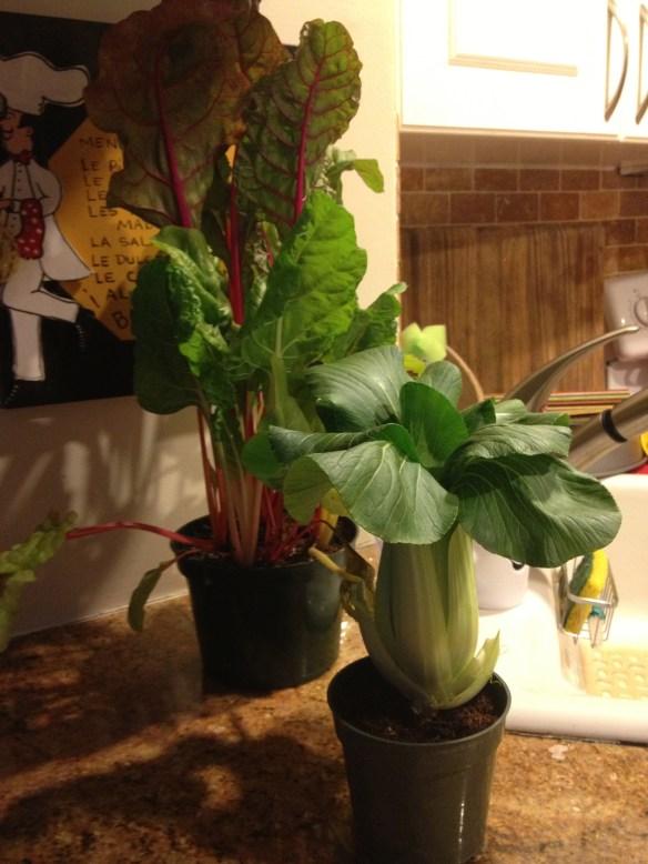 Bok Choy & Swiss Chard plants