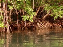Mangroves Shores of Marigot Bay, St. Lucia