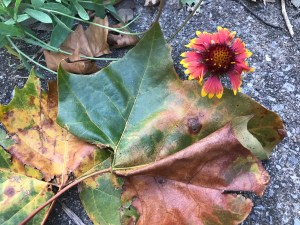 Blanket flower and sycamore leaves