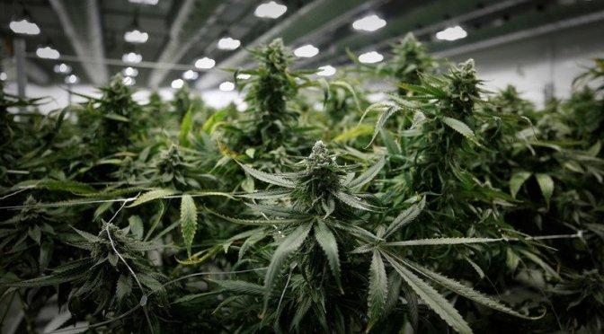 Senado votará esta semana regulación de la mariguana