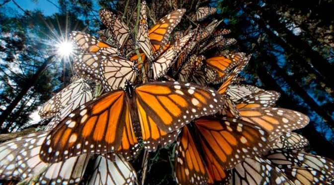 Abren santuarios michoacanos de Mariposa Monarca en noviembre