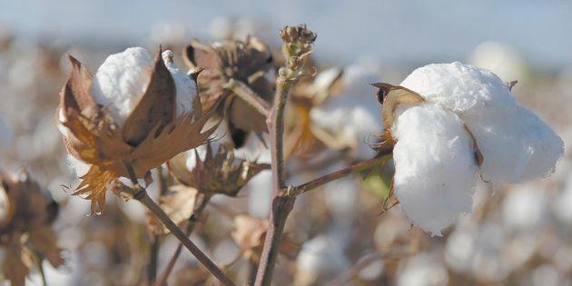 México y EUA destinarán 61 mdp para erradicar plagas del algodón