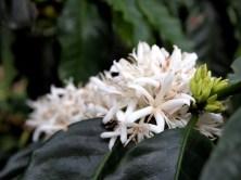 Blooming coffee flower
