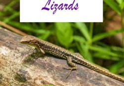 What Do Backyard Lizards Eat