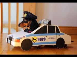 2 teckels jouent aux gendarmes et aux voleurs – Crusoe & Oakley Dachshund – YouTube