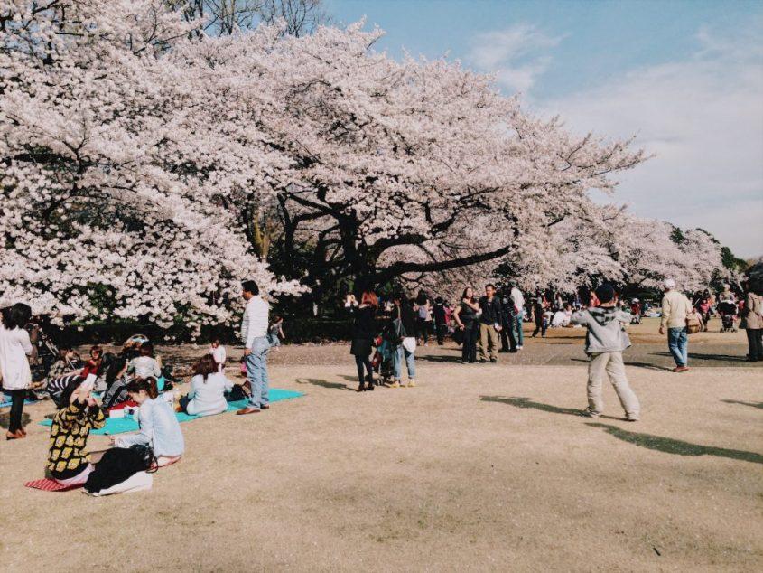 shinjuku gyouen sakura