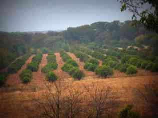 El Rancho...My tia Rosa's ranch in Otongo. Those orchards are filled with sour oranges!