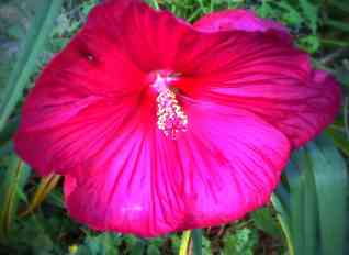 The hibiscus that we planted in my Dad's memory the year he passed away, 2007. He passed on September 1st