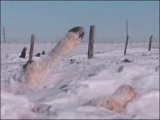 snowbound cattle