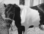 The Skyrian horse