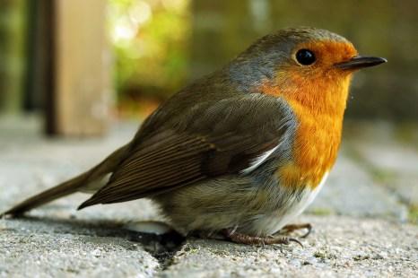 Robin rescue, Belgium