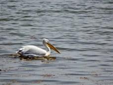 Dalmatian Pelican, Pelecanus crispus By Dimitris