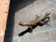 Cayman Lizard
