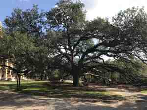 century tree texas a&M