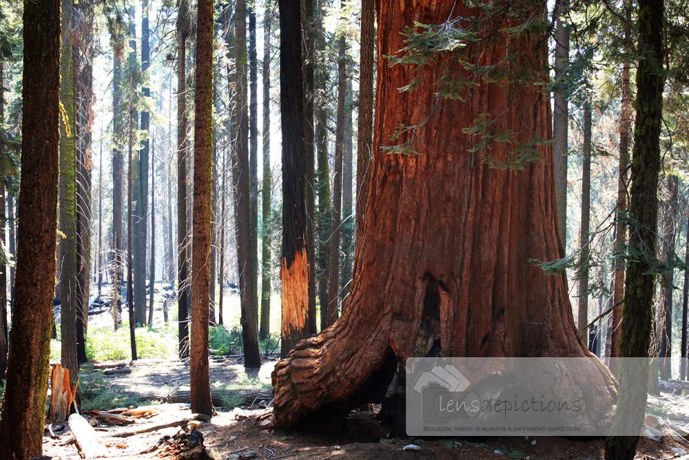 The Giant Sequoia Tree! – A Poem