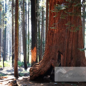 The Giant Sequoia Tree! – A Poem