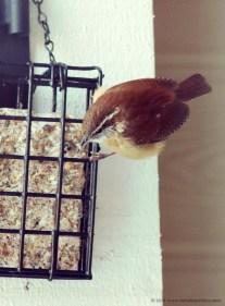 Cute Carolina wren birdfeeder