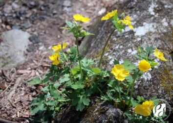 Bulbous Buttercup wildflowers