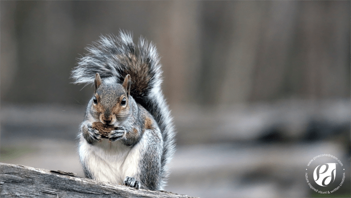 Squirrel_Pineconedream_Blog3