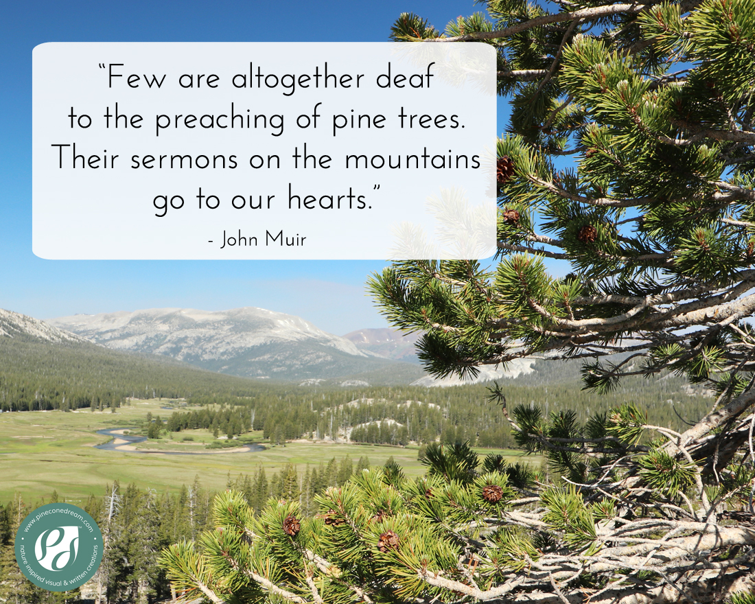 JohnMuir_PineTree1
