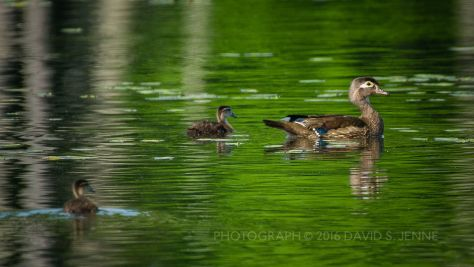 Wood Duck Family-Muddy Pond-Rutland-VT-20160604-35