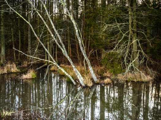 white-birches-2240473