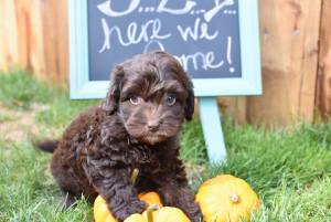 photo of Australian labradoodle puppy