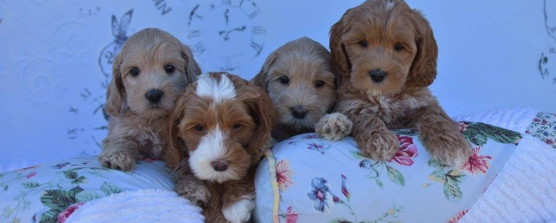 Pine Lodge Labradoodles – Breeders of Australian Labradoodles