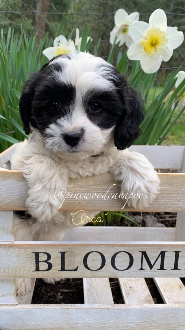 puppyblckwht