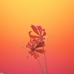 Flower_GLORIOSA