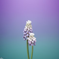 Flower_MUSCARI