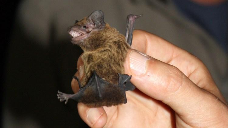 Morcego-arborícola-pequeno