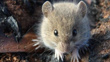 Rato-do-campo